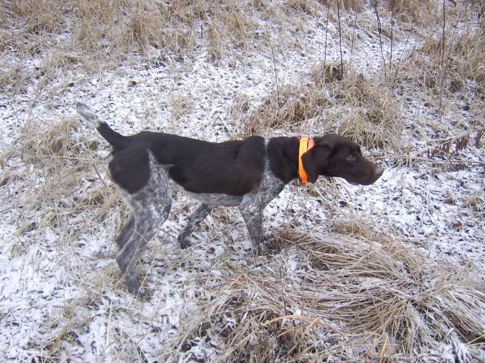 German Shorthaired Pointer Puppies - Minnesota - German Shorthaired ...